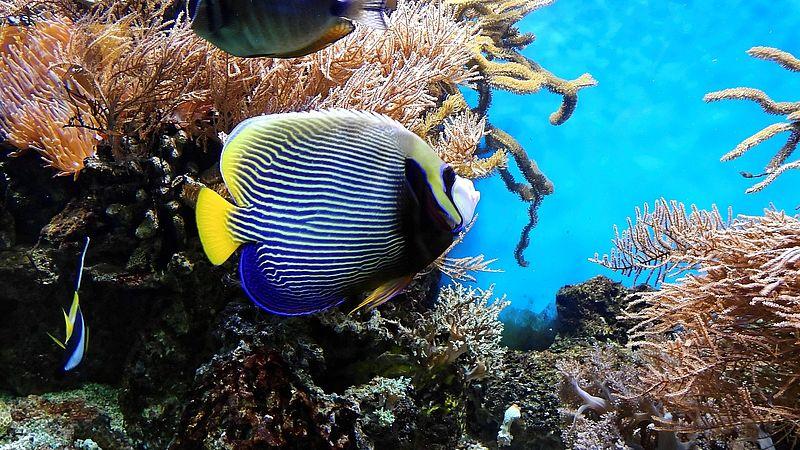 Door vissen te misleiden met luidsprekers kunnen we beschadigde koraalriffen redden
