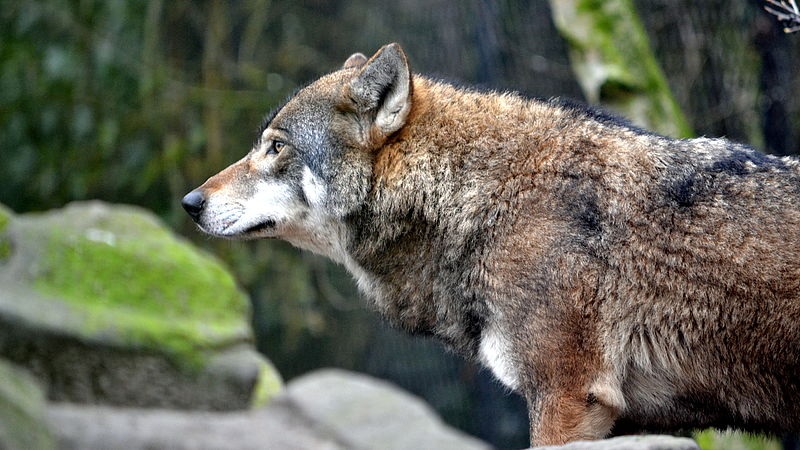 De Europese wolf