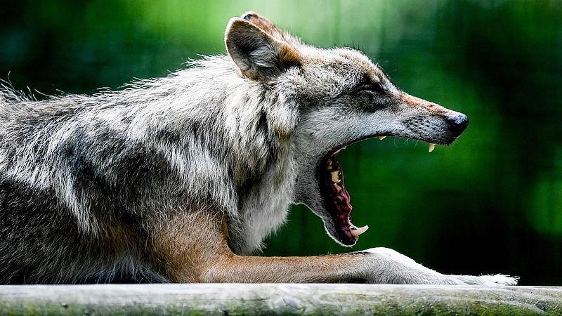 Zelfs met welpjes hoeven we niet bang te zijn voor de wolf, zeggen natuurorganisaties
