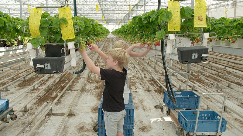 Zo lang de consument niet meer wil betalen, blijf je landbouwgif vinden op aardbeien uit de supermarkt