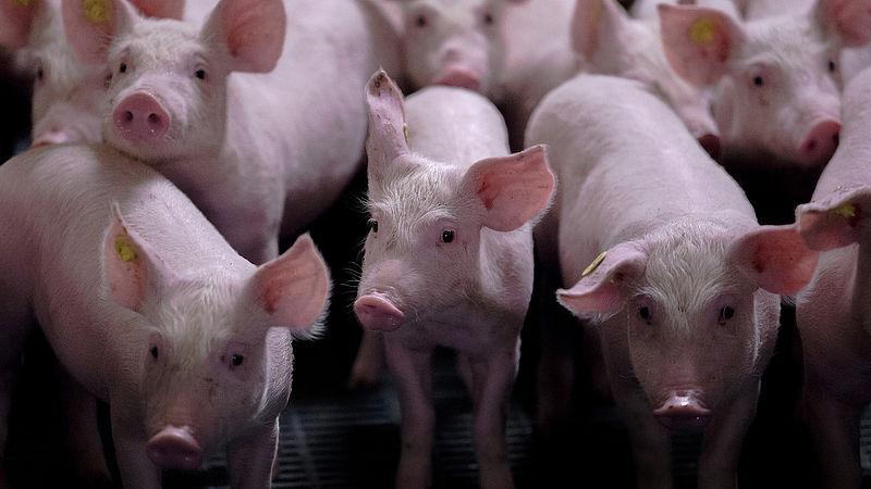 Een megastal zorgt voor minder dierziektes