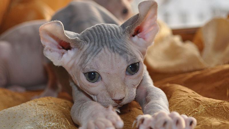 Dwelf Kat