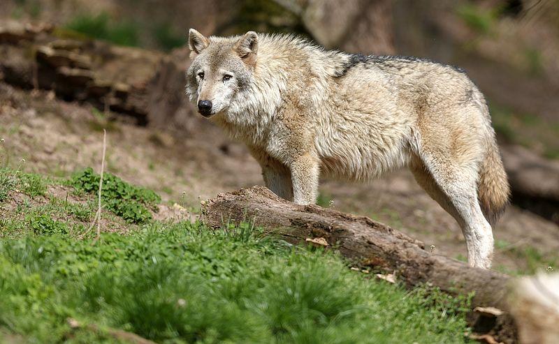 Wat willen we met de wolf?