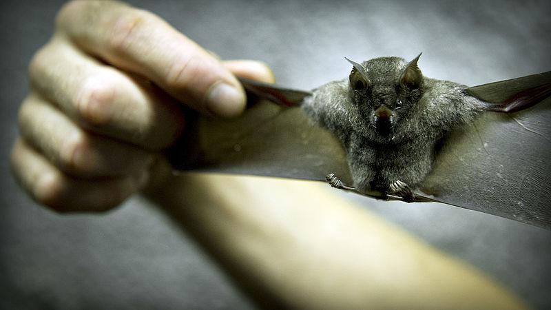 Bang voor de vleermuis door coronacrisis? 'Net zo gevaarlijk als een huismus'