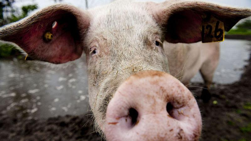 Zonnebrand en aftersun zorgen dat de varkenshuid niet verbrandt