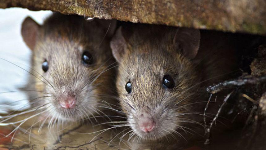 Rattenplaag In Tuin : Opmars bruine rat lijkt onstuitbaar als je de rat een kans geeft