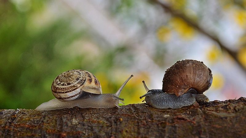 Geen vluggertjes voor slakken: de seks duurt 4 tot 8 uur