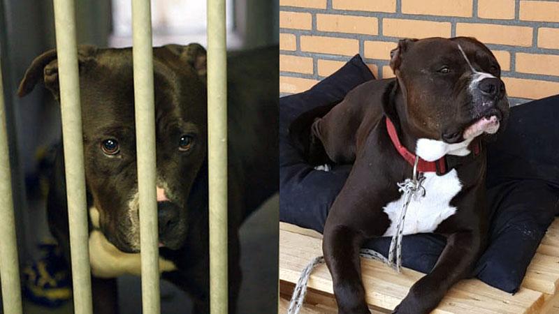 Niemand wilde zorgen voor 'vechthond' Spikey, maar nu heeft hij tóch een thuis gevonden