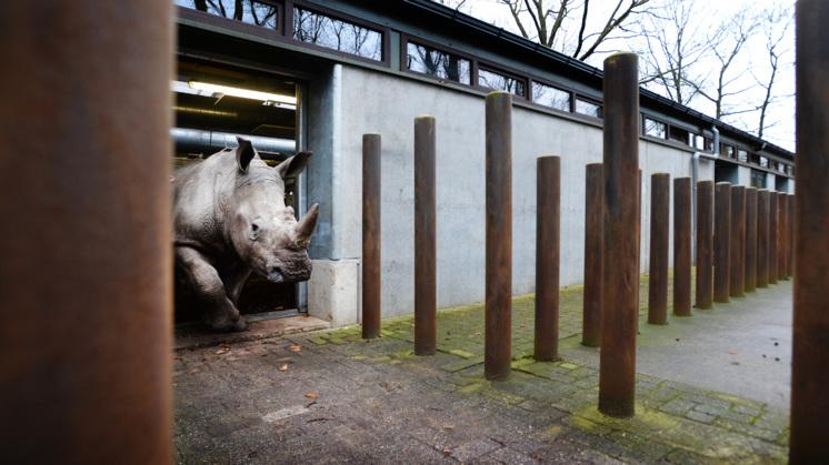 Uitstervende neushoorn zelfs in dierentuin onveilig
