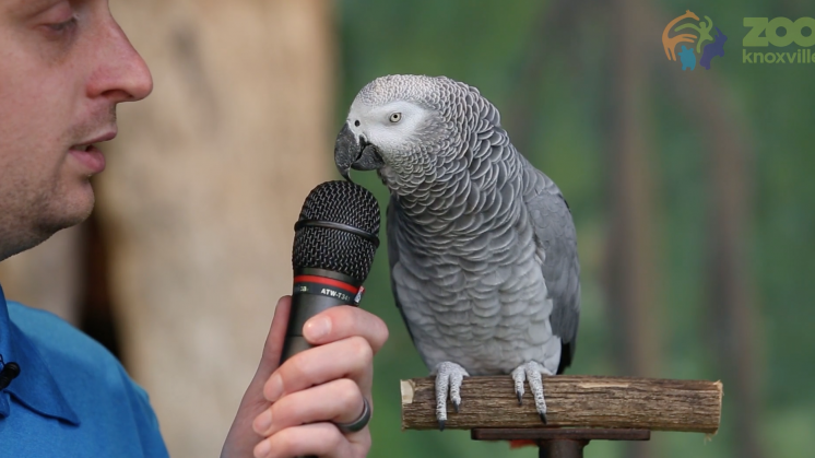 Deze jarige papegaai imiteert álles