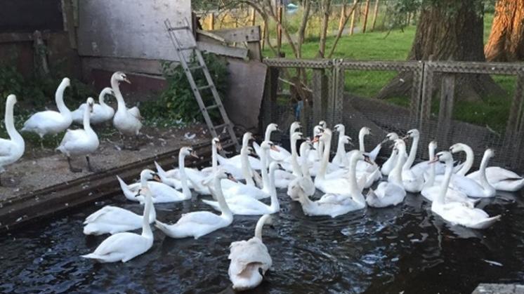 10 jonge zwaantjes afgepakt van zwanendrifter